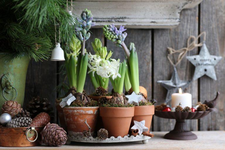 Kvitnúce hyacinty počas Vianoc