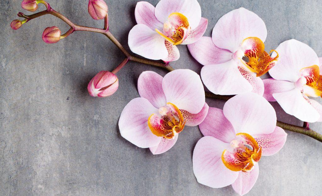 Exotické orchidey: Ako dopestovať bohato kvitnúce rastliny?