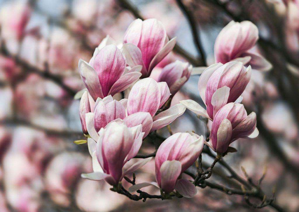 Apríl v záhrade: strom magnólie