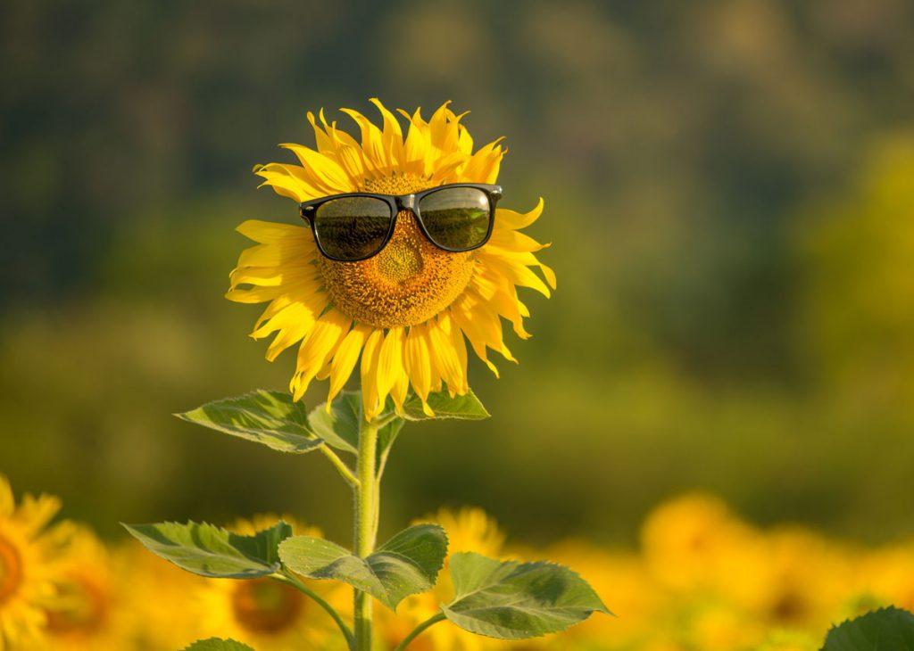 Apríl v záhrade: kvet slnečnice