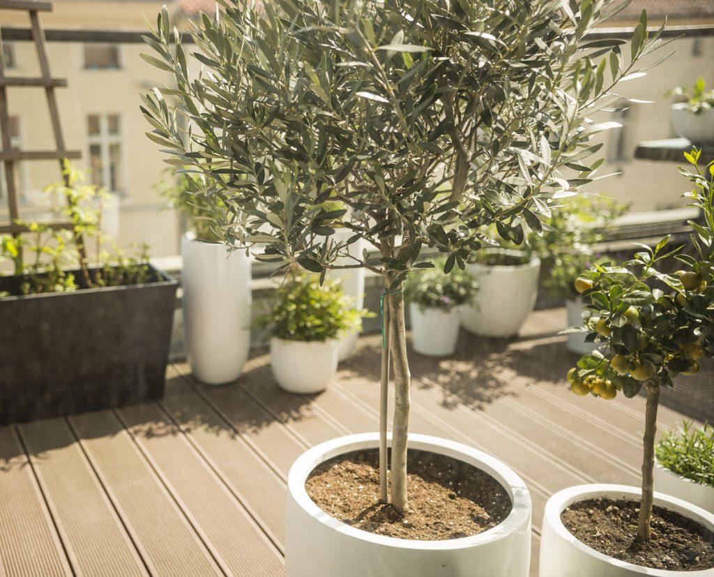 pestovanie olivovníka na balkóne