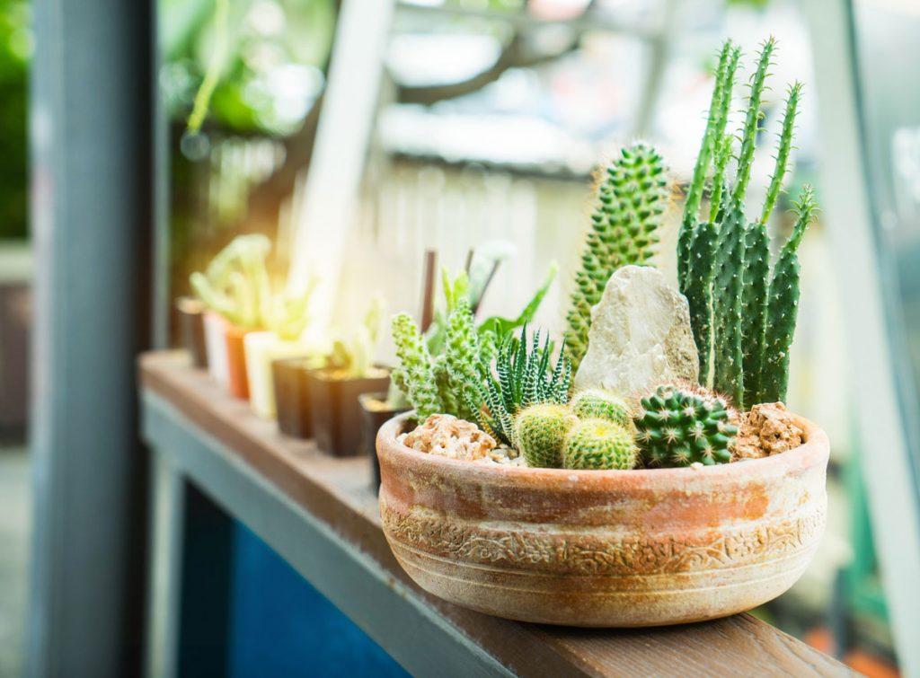 júlové práce v okrasnej záhrade: kaktusy