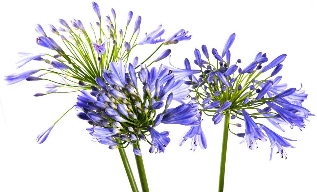 kvet agapant