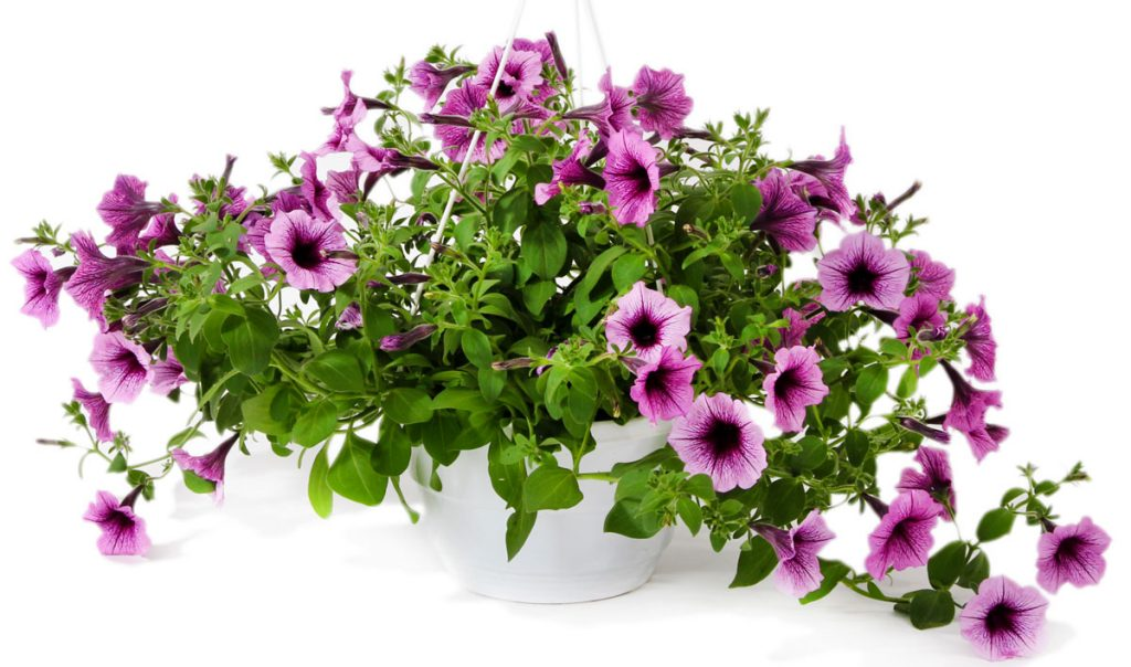 petúnia v závesnom kvetináči