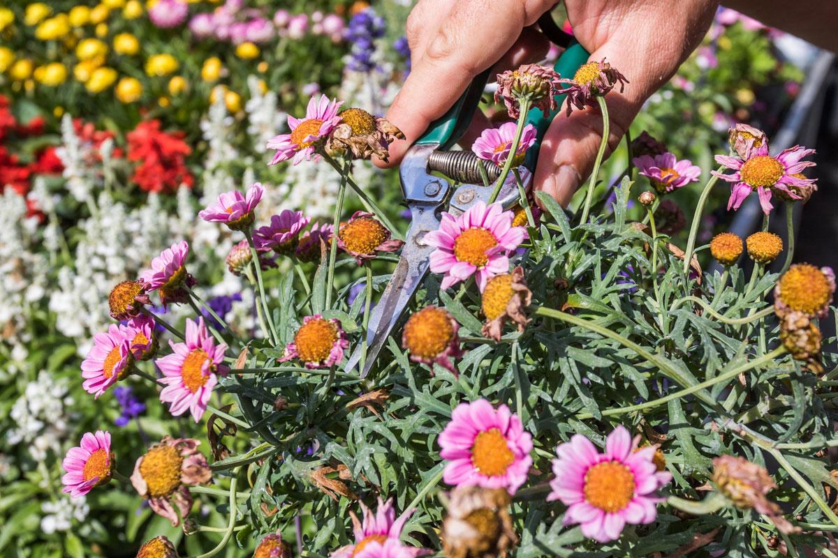 odstraňovanie odkvitnutých kvetov
