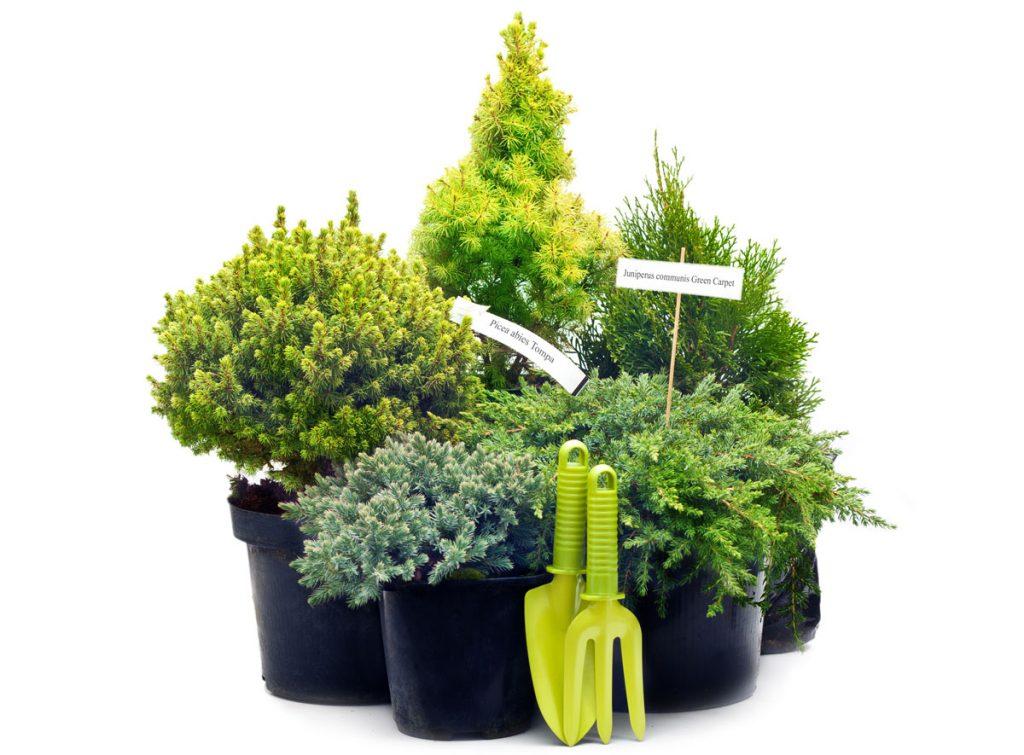ihličnaté stromčeky pestované v nádobách