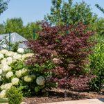 """záhrada s japonským tmavočerveným javorom a bielymi stromčekovitými hortenziami kultivaru """"Annabelle"""""""