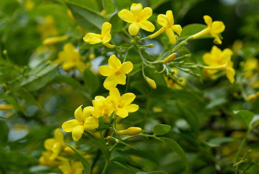 žltý jazmín