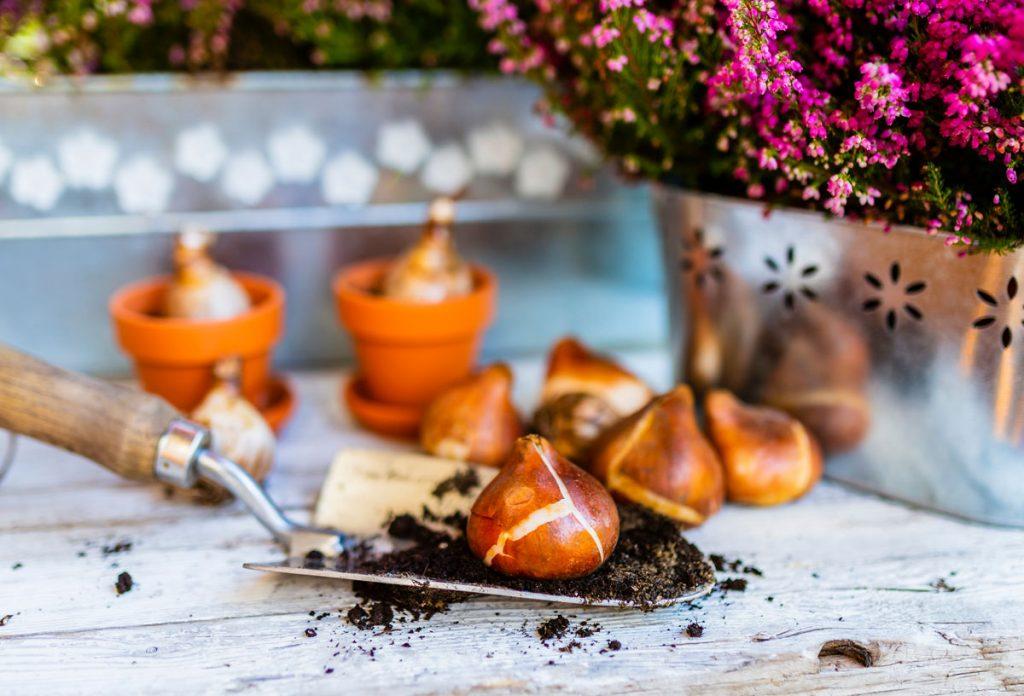 cibuľoviny pripravené na jesenné sadenie