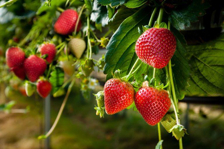 Záhradný poradca: Kedy sadiť jahody a ako správne rezať maliny?
