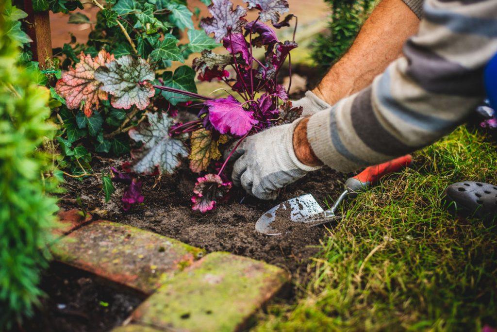 Okrasná záhrada v októbri: výsadba heucher