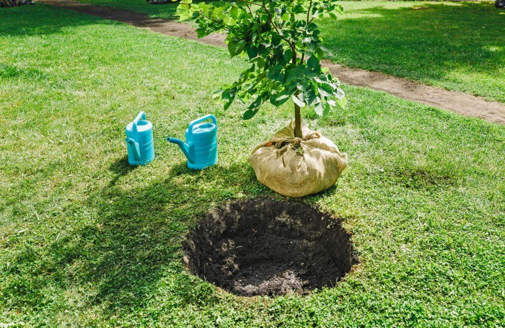 sadenie listnatého stromu s obaleným koreňovým balom do záhrady