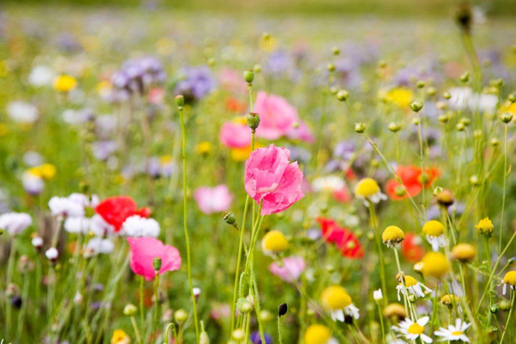 kvitnúca lúka v záhrade