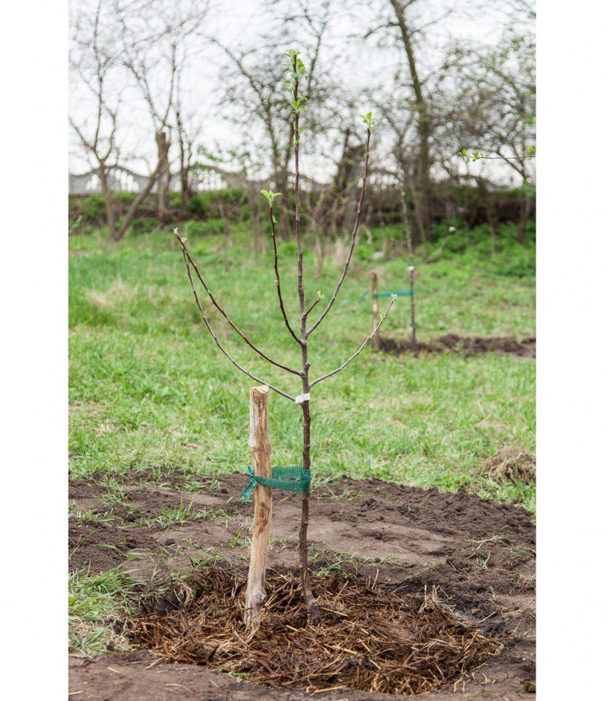 uviazanie vysadeného stromu o drevený kolík