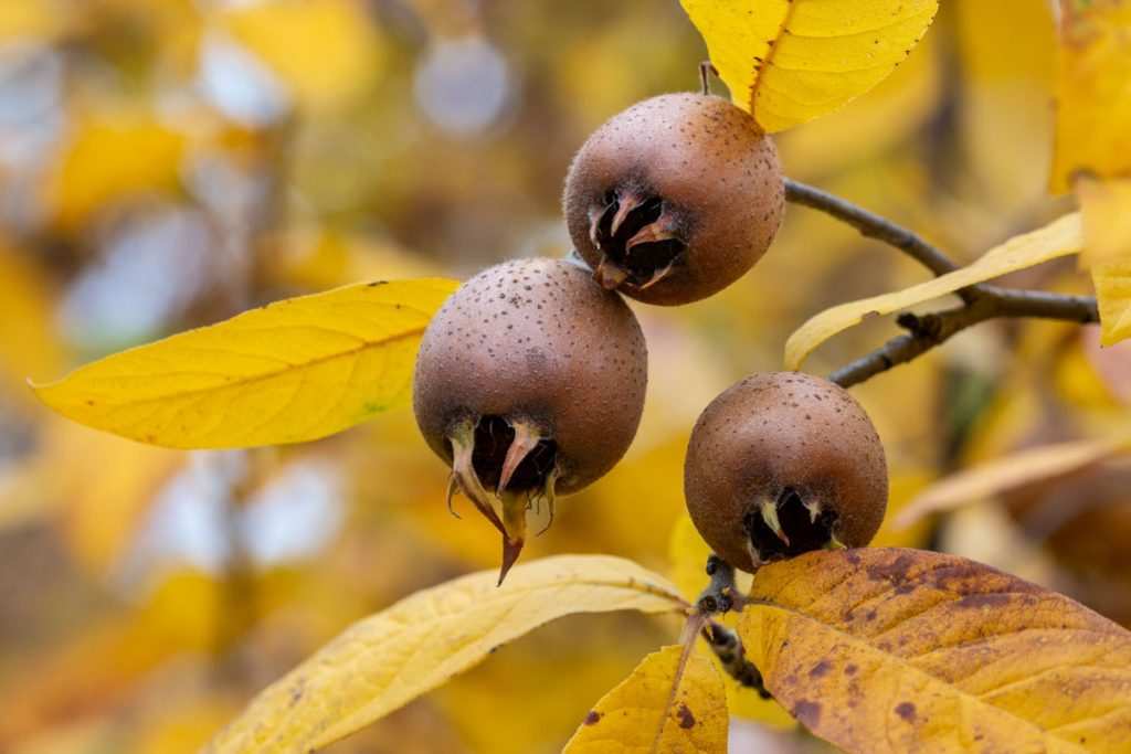 plody mišpule