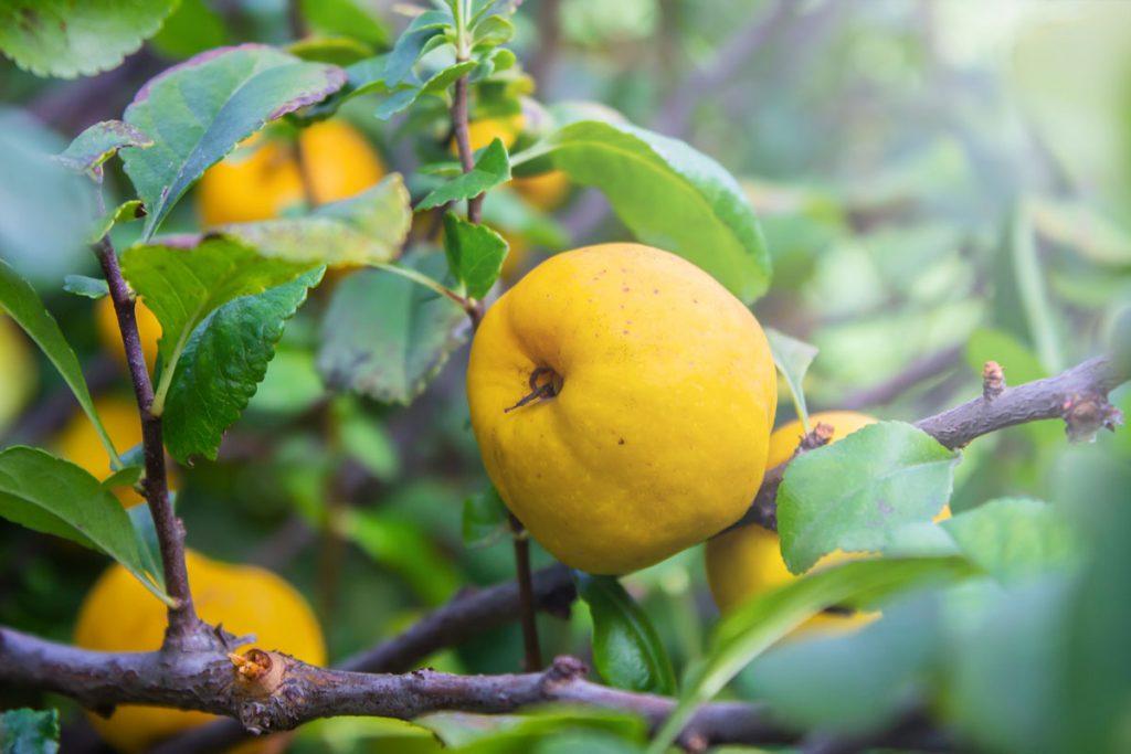 strom dula s plodmi