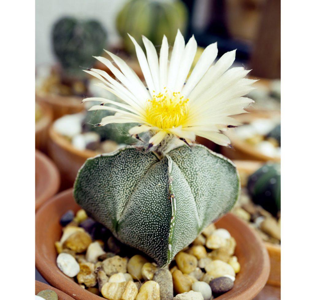 rozkvitnutý kaktus biskupská čiapka