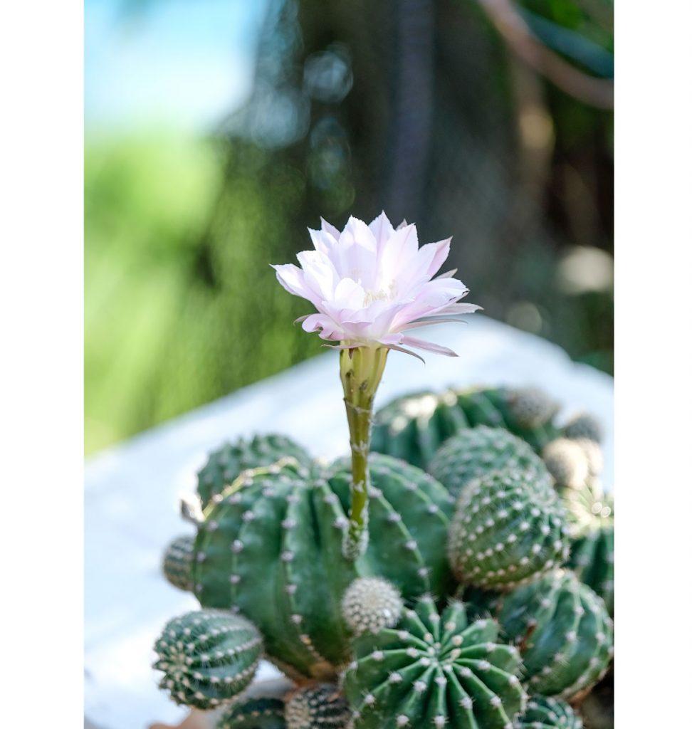 rozkvitnutý sedliacky kaktus