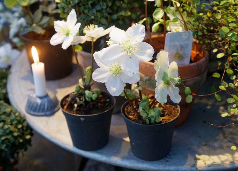 Zimné aranžovanie: Akými rastlinami si môžete skrášliť okenné parapety