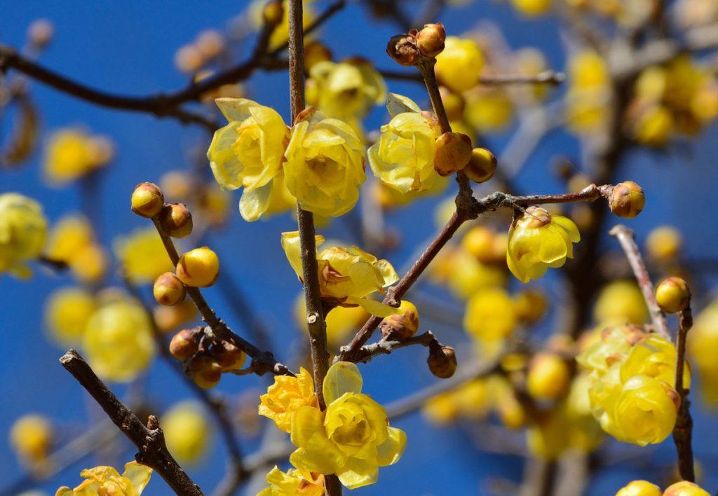 žlto kvitnúci zimovec