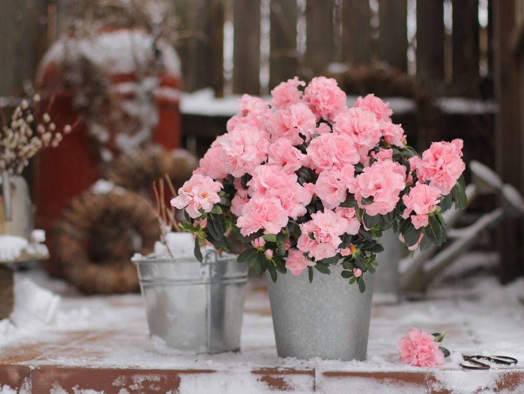 ružové azalky v plechovom vedierku