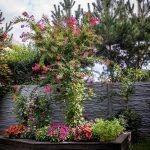 záhrada s betónovým plotom a vyvýšeným záhonom s myrtou, netýkavkami, gerberou a georgínou