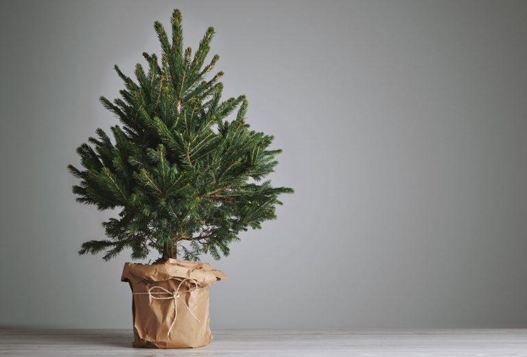 Ako presadiť živý vianočný stromček po Vianociach do záhrady?