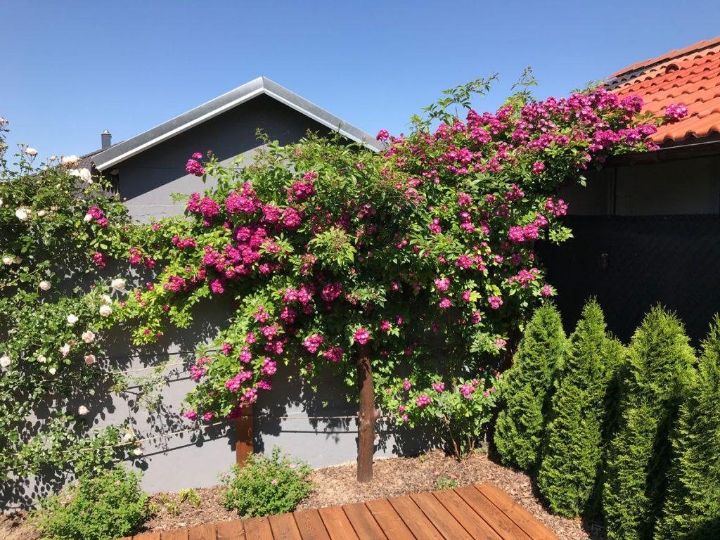 Svojpomocne vybudovaná záhrada s popínavými ružami a ihličnanmi.