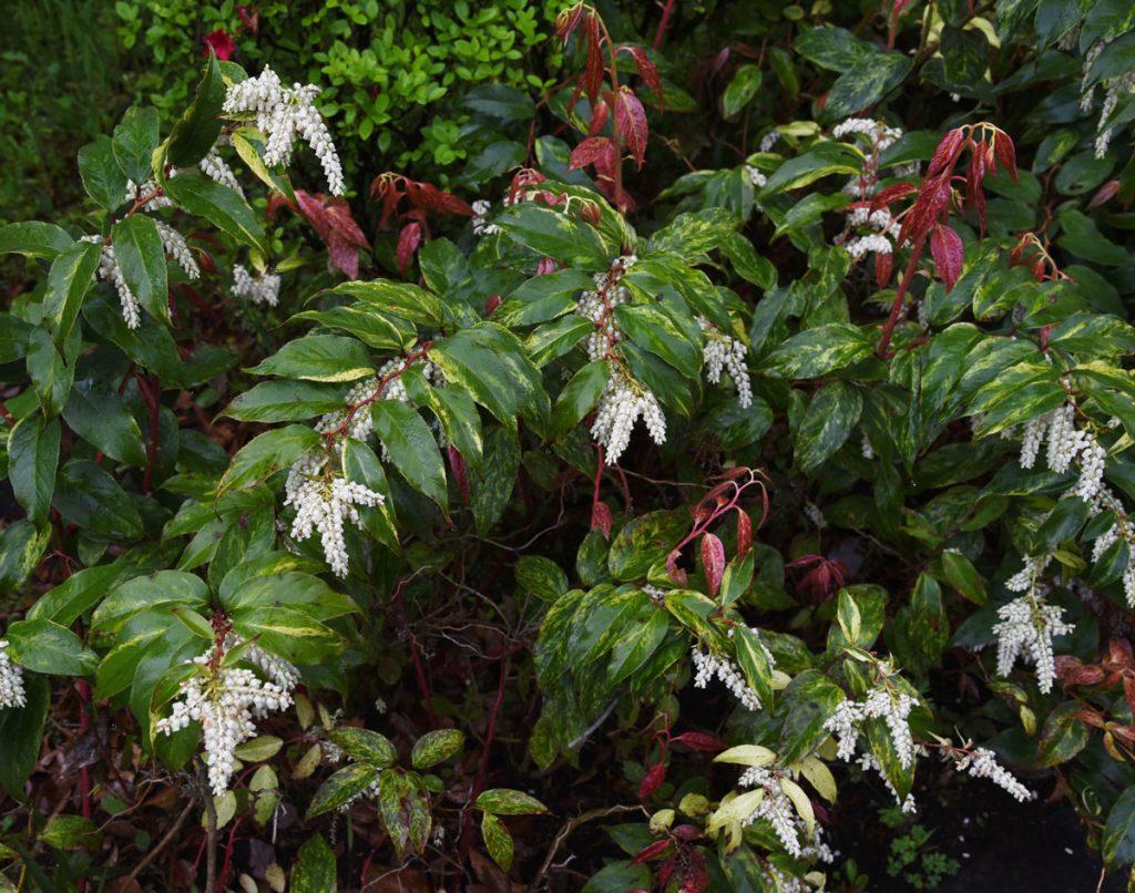 Aký krík vysadiť k rododendronom: kvitnúce leukote