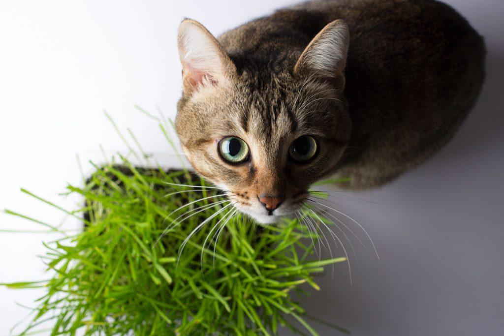 Aby mačka neohrýzala izbové rastliny: mačka s mačacou trávou
