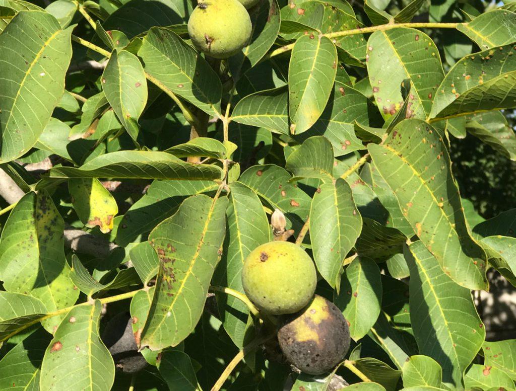 Černanie plodov a listov orecha.