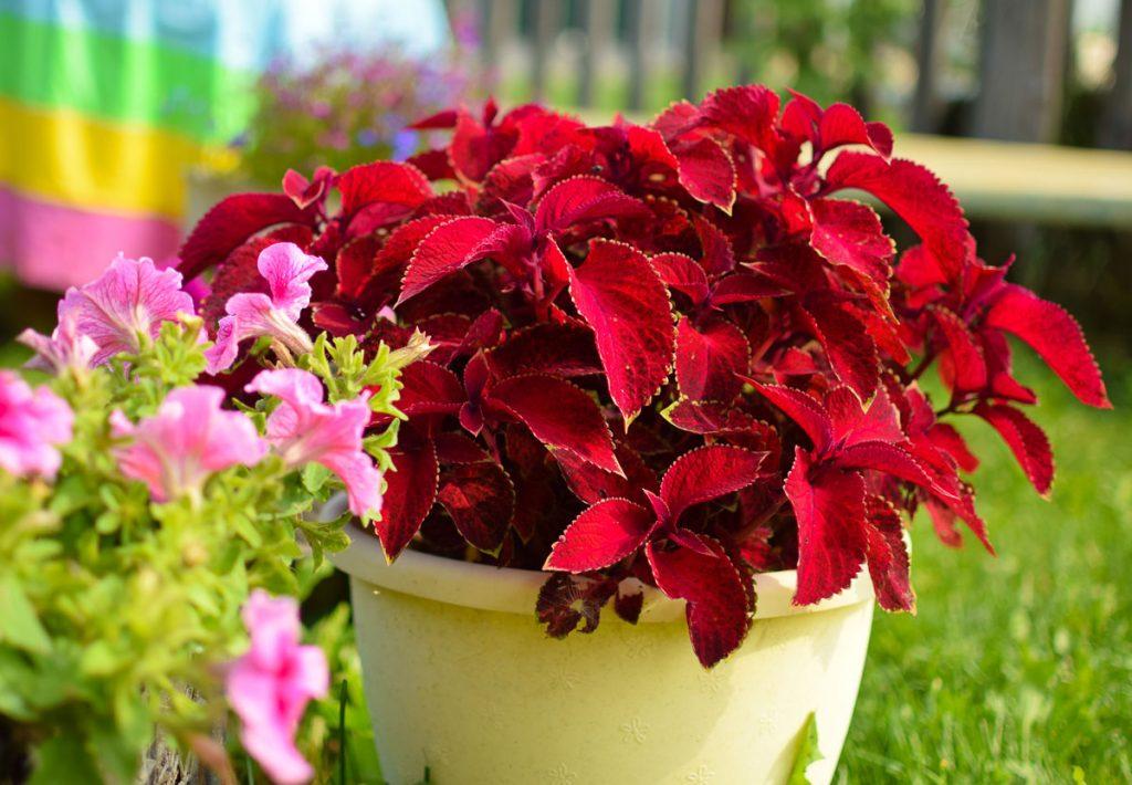 Dajú sa z jednoročiek dopestovať trvalky?: koleus v kvetináči