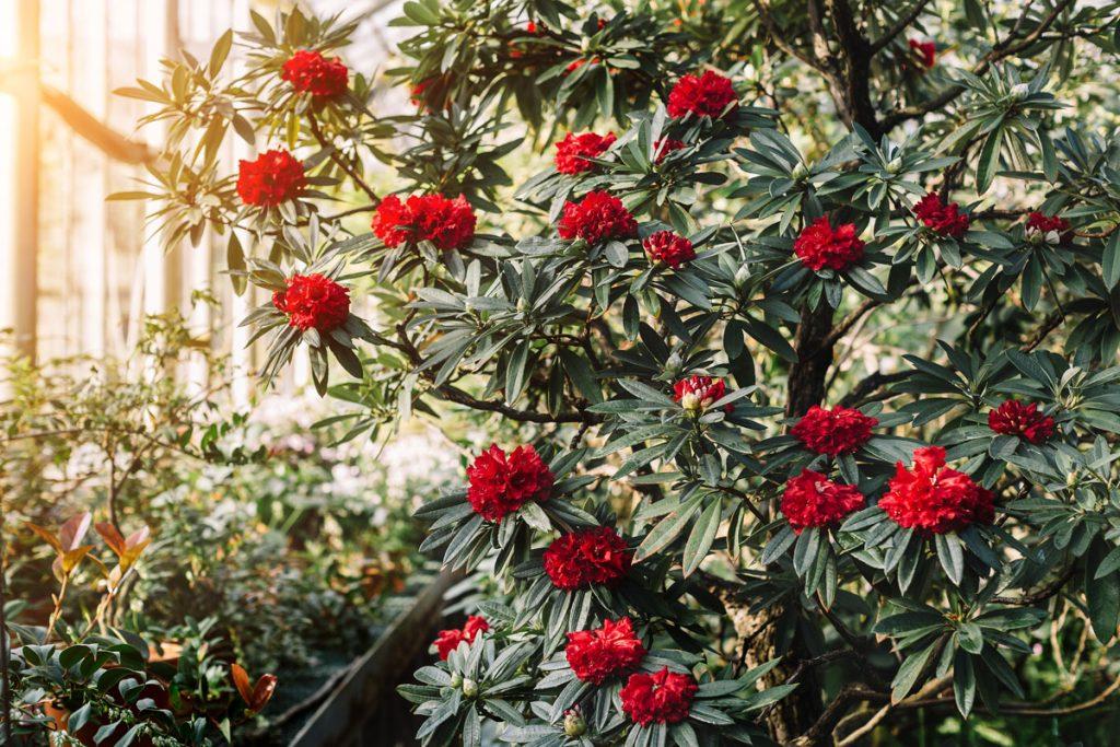 Aký krík vysadiť k rododendronom: kvitnúci červený rododendron