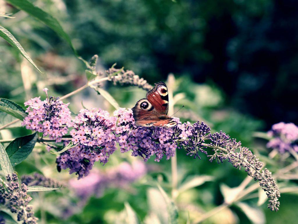 Ako sa starať o budleju: motýľ na budleji