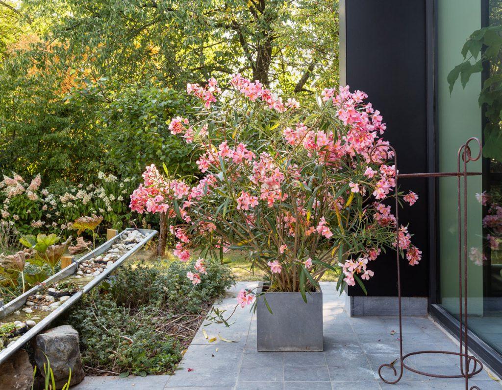 Apríl v okrasnej záhrade, letnenie oleandrov