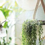 starostlivosť o izbové rastliny, rosenie listov izboviek