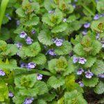 aprílové bylinky: Zádušník brečtanolistý
