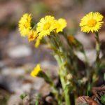 aprílové bylinky: Podbeľ lekársky