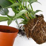starostlivosť o izbové rastliny, presádzanie rastlín