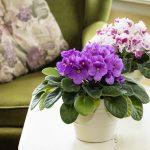 starostlivosť o izbovky, fialka v kvetináči