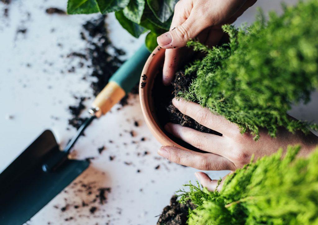 Presádzanie rastliny.