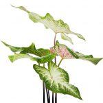 starostlivosť o izbové rastliny, kaládium