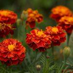 Letničky do farebnej záhrady: Aksamietnice