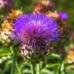 Romantická záhrada s bylinkami: Artičoka