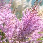 Záhrada s jazierkom: Astilba