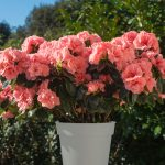 Záhrada s jazierkom: Azalka