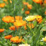 Romantická záhrada s bylinkami: Nechtík lekársky