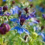 Letničky do farebnej záhrady: Černušky