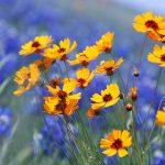 Letničky do farebnej záhrady: Krásnoočky