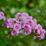Romantická záhrada s bylinkami: Muškát